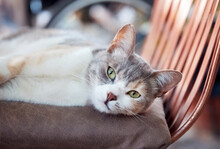 Lovely Stray Cat Lying On A Chair With Relaxed Emotion.