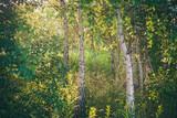 Wschód słońca w gęstym zagajniku brzozowym