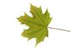 canvas print picture - Ahornblatt, Acer