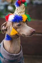 Italian Greyhound Dog With Wool Sweater
