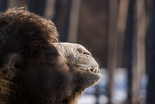 Close View Of The Chewing Bactrian Camel (Camelus Bactrianus) Mouth With Teeth
