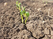 Green Sprouts Of Soybean Emerged From Soil.