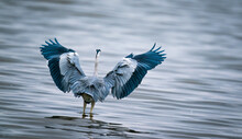 Beautiful Shot Of A Great Blue Heron, Also Known As A Crane, In The Great Salt Lake, In The USA