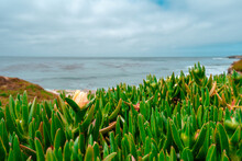 Natural Background Of Green Carpobrotus Growing Near The Pacific Ocean