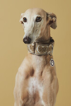 Stylish Greyhound Breed Dog Over Brown Background