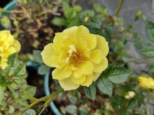 Rosa 'Canary Showground'
