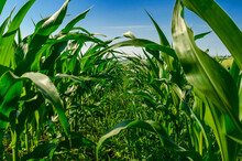 Young Green Corn Leaves In A Field. Agricultural Technologies