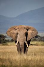 Huge Elephant In Tall Yellow Grass