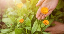 A Young Girl Holds A Calendula Flower In The Garden, Collects The Pot Marigold For Medicinal Purposes, For A Soothing Healthy Tea.