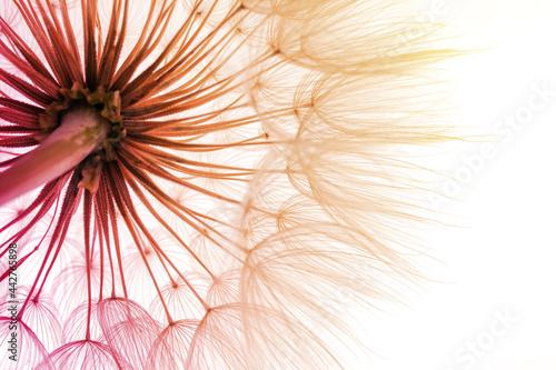 Beautiful fluffy dandelion flower, closeup. Color tone