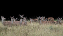 Large Herd Of Deer Females On Black Background (Cervus Elaphus)