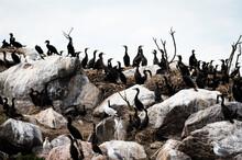Cormorants And Seagulls On A Rocky Island