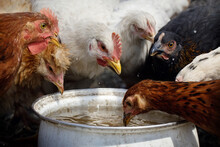 Many Colorful Hens Friendly Drink Water From A White Pot.