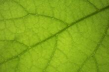 Fondo Con Textura De Hoja Vegetal Verde