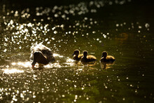 Backlight On Chick Mallard Ducks Smith Mother Duck Swimming In A Lake
