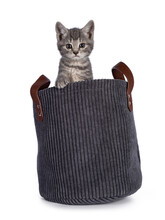 Cute Grey Farm Cat Kitten, Sitting In Blue Rib Cord Basket. Looking Towards Camera. Isolated On White Background.