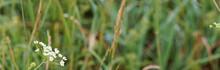 Little Grass Stem Close-up. Beautiful Nature Background. Shallow Depth Of Field. Banner.