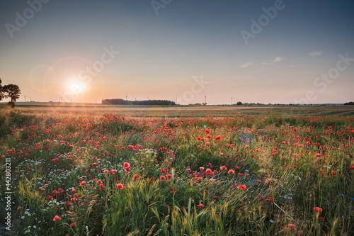pola, niebo, krajobraz, lato, rolnictwa, kwiaty, blękit, chmura, przenica, roślin, obszarów wiejskich, mak, kwiat, farma, kraina, kraj, pora roku, kukurydza, wieś, watrak, energia wiatrowa, ekologia