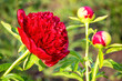 Czerwony kwiat i pąki piwonii odmiany