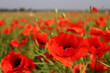 Poppy flowers on a poppy field on a sunny summer day. Nature and landscape. Selective focus