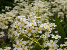 Close-up Of Perfect, White And Yellow Flowers Of Five Petals Of Alpine Saxifrage Or Encrusted Or Lifelong Saxifrage (Saxifraga Paniculata) In Rock Garden