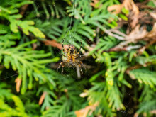 European Garden Spider, Cross Orb-weaver (Araneus Diadematus) Hanging In The Web With Green Foliage In Background. Ventral View