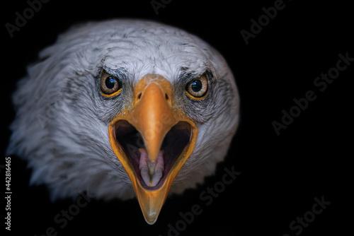 Fotografija portrait of a bald  eagle