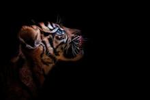 Portrait Of A Tiger Suumatran