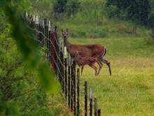A Mother White-tailed Deer Standing At A Barbed Wire Fence With A Her Spotted Baby Fawn