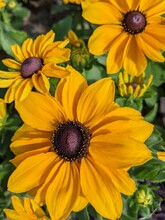 Black-eyed Susan Flowers In Bloom. The Official State Flower Of Maryland. Rudbeckia Hirta. The Yellow And Black Colors.