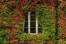 Building Facade At The University Of Cork, Ireland. Old Building Window Among Vines With Multi-colored Autumn Leaves