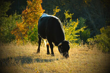 Young Crossbred Bull Grazing In Fall Pasture With Farm Nostalgia Style.