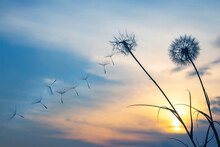 Dandelion Seeds Are Flying Against The Background Of The Sunset Sky. Floral Botany Of Nature
