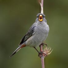 Singing Seed Bird