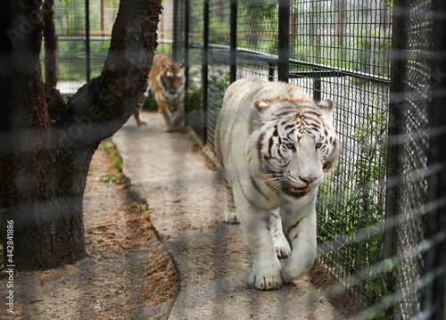 Fotografiet Close up of rare white fluffy Bengal tiger walking in a cage in the zoo
