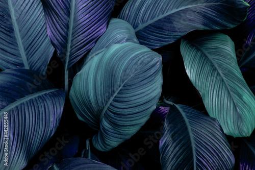 Fototapeta leaves of Spathiphyllum cannifolium, abstract green texture, nature background,