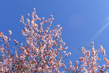 Pink Cherry Blossoms Blooming On Tree Twigs Against Against Blue Sky On Sunny Day.  Natural Spring Flowers Background With Copy Space.