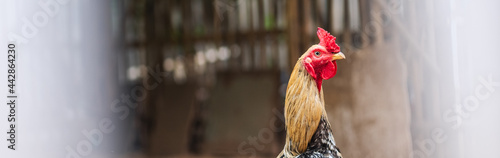 Fotografering Closeup image of a rooster chicken in the outdoor