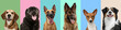 Leinwandbild Motiv Collage made of funny cute dogs different breeds on multicolored studio background.