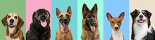 Collage Made Of Funny Cute Dogs Different Breeds On Multicolored Studio Background.