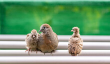 Close Up Image Of A Mother Bird And Two Newborn Baby Birds