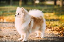 White Pomeranian Spitz Dog Posing Outdoor In Autumn Park Lane.
