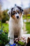 Fototapeta Kawa jest smaczna - A cute Australian Shepherd puppy and flowers in the garden.