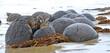 Moeraki Boulders bei Oamaru,  Südinsel Neuseelands, Nationalpark,   Kugel, Steine, Strand