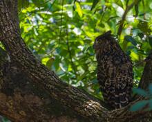 Tawny Fish Owl Resting On A Tree
