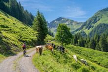 Happy Senior Woman Riding Her Electric Mountain Bike Up To The Famous Mountain Village Of Damuels, Meeting A Herd Of Cows, In The Bregenz Forest Mountain Of Vorarlberg, Austria