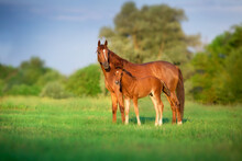 Red Mare And Foal On Green Pasture