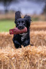 Black Working Cocker Spaniel Undergoing Training With A Special Practice Dummy For Retrieval