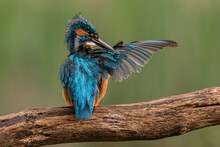 Male Kingfisher Holds Out One Wing In Order To Preen It. UK