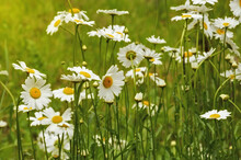 Beautiful Wild White Flowers And Green Grass. Summer Park. Daisies.
